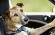 Parece un cuento pero fue real: La policía de Washington en EE.UU quedó asombrado después de una persecución a alta velocidad, cuando se encontró con que un perro iba al volante.