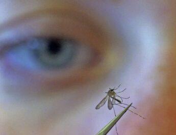 Científicos ratifican que los mosquitos no transmiten el coronavirus